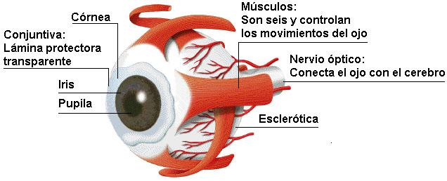 El ojo humano |