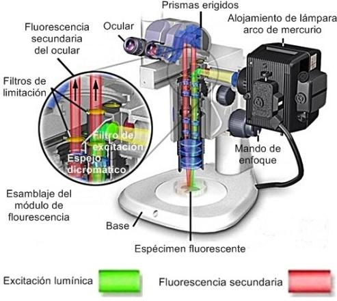 estereomicroscopio con iluminación de fluorescencia