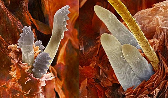 Ácaros acurrucados en la raíz de un pelo, imagen de microscopio electrónico de barrido con falso color