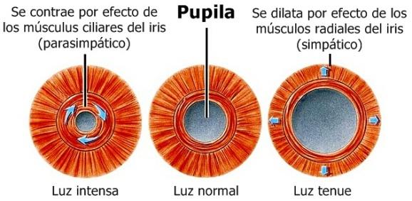 Púpila_dilatación